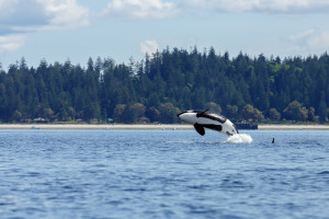 vancouver_island_orca